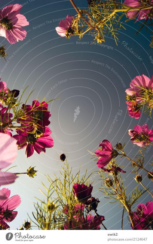 Die Qual der Wahl Umwelt Natur Pflanze Tier Wolkenloser Himmel Sommer Schönes Wetter Blüte Schmuckkörbchen Korbblütengewächs Halm Garten Hummel 1 fliegen