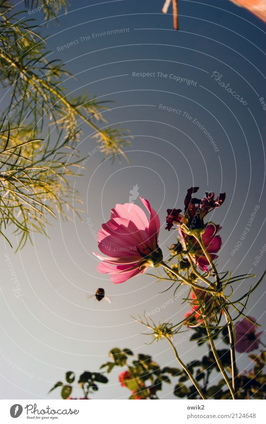 Sonderangebot Umwelt Natur Pflanze Tier Wolkenloser Himmel Sommer Schönes Wetter Blüte Schmuckkörbchen Korbblütengewächs Halm Garten Hummel 1 fliegen genießen