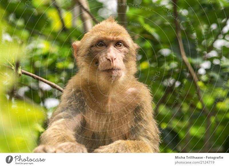 Junger Berberaffe Natur grün Sonne Baum Blatt Tier Wald Tierjunges Umwelt gelb Auge orange Wildtier sitzen Schönes Wetter beobachten