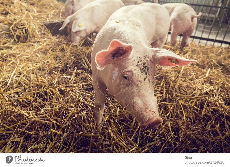 Komm her, Trüffelmann! Nutztier Schwein 1 Tier Tierjunges Kommunizieren frech Freundlichkeit klein lustig natürlich Neugier niedlich positiv braun gelb rosa