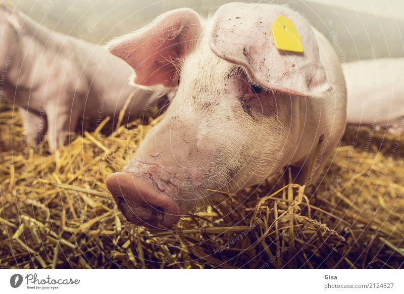 Komm schon, Trüffelmann! Tier Tierjunges Leben gelb lustig natürlich klein Glück außergewöhnlich rosa gold Kommunizieren Freundlichkeit berühren Neugier
