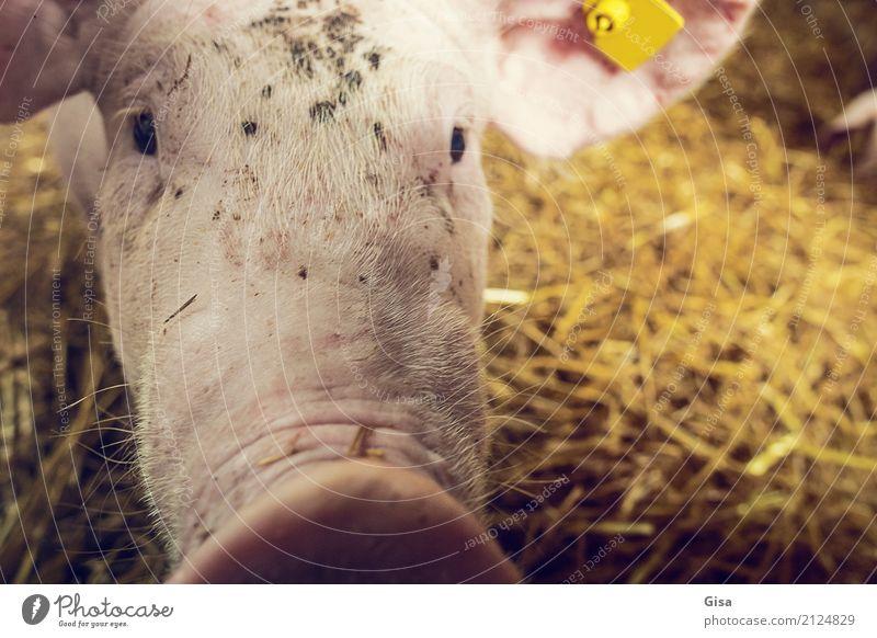 Komm näher, Trüffelmann! Tier Nutztier Tiergesicht Schwein 1 Tierjunges berühren Kommunizieren außergewöhnlich frech Freundlichkeit klein lustig natürlich