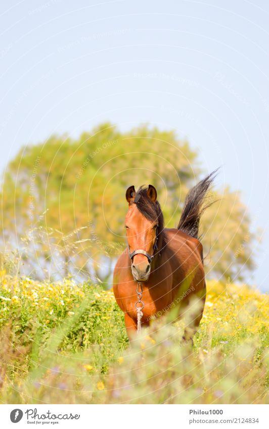 Brown-Pferd in einer Wiese füllte mit Gänseblümchen Sommer Sport Natur Tier Gras Haustier wild braun grün schwarz weiß Braunes Pferd Hintergrund Bucht