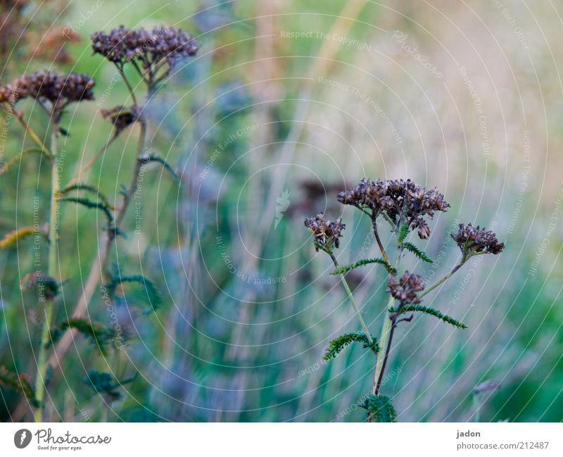 randerscheinung Umwelt Natur Landschaft Pflanze Gras Sträucher Wildpflanze dehydrieren Wachstum einfach Unkraut Landwirtschaft Nahaufnahme trocken Menschenleer