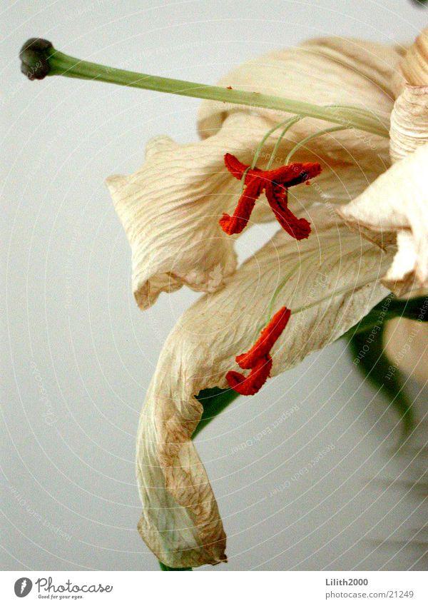 Aus und vorbei Lilien welk Blüte weiß Blatt grün beige Pflanze Blume verblüht Stempel orange