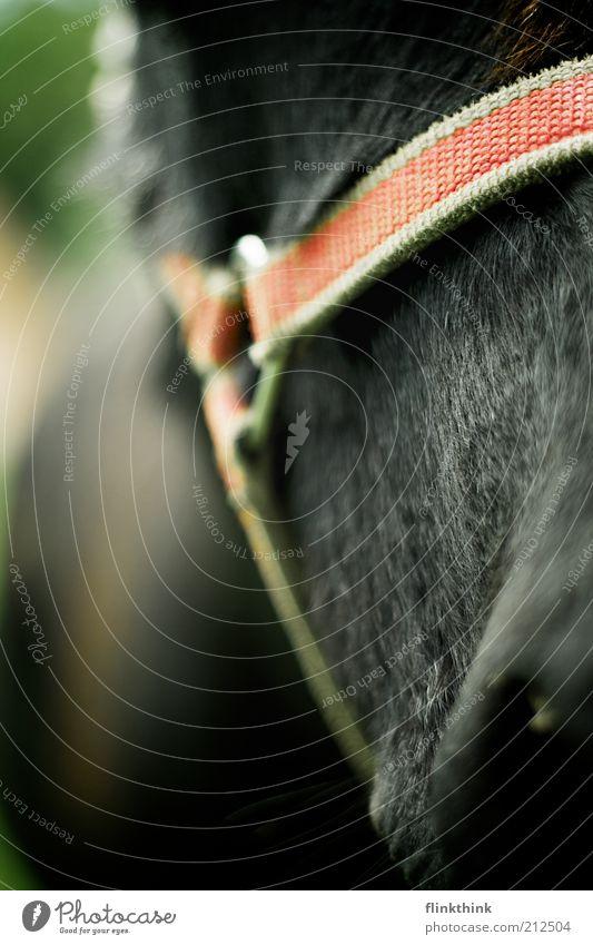 Eselhalfter rot ruhig schwarz Tier grau stehen Zoo Gelassenheit geduldig Esel Nutztier Selbstbeherrschung Nüstern Streichelzoo Halfter