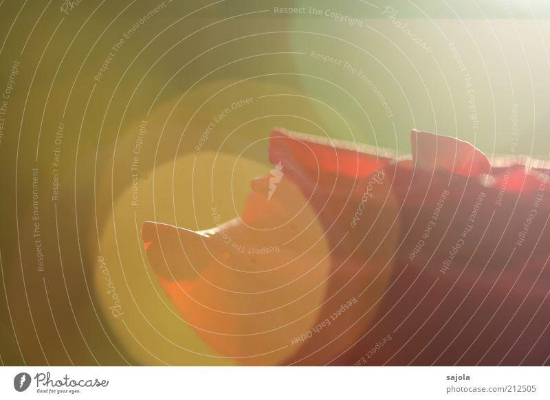 eine rose für dein glück Umwelt Natur Pflanze Blume Rose rot Glück Lichtpunkt Lichtspiel Blendenfleck Kreis rund Farbfoto Außenaufnahme Nahaufnahme