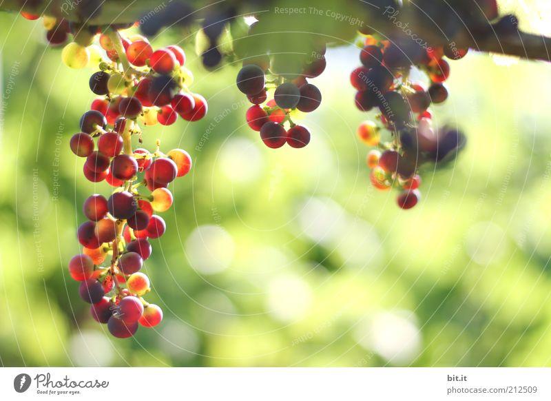 Weintrauben Natur grün rot Sommer Ernährung Herbst Gesundheit Lebensmittel Umwelt Frucht frisch Wachstum Landwirtschaft reif Jahreszeiten