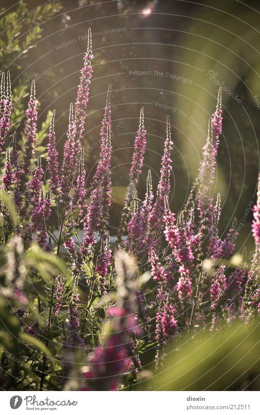 summer flower light - Lythrum salicaria (3) Natur schön Blume grün Pflanze Blüte Park Umwelt Wachstum violett natürlich Blühend Duft Stauden Wildpflanze