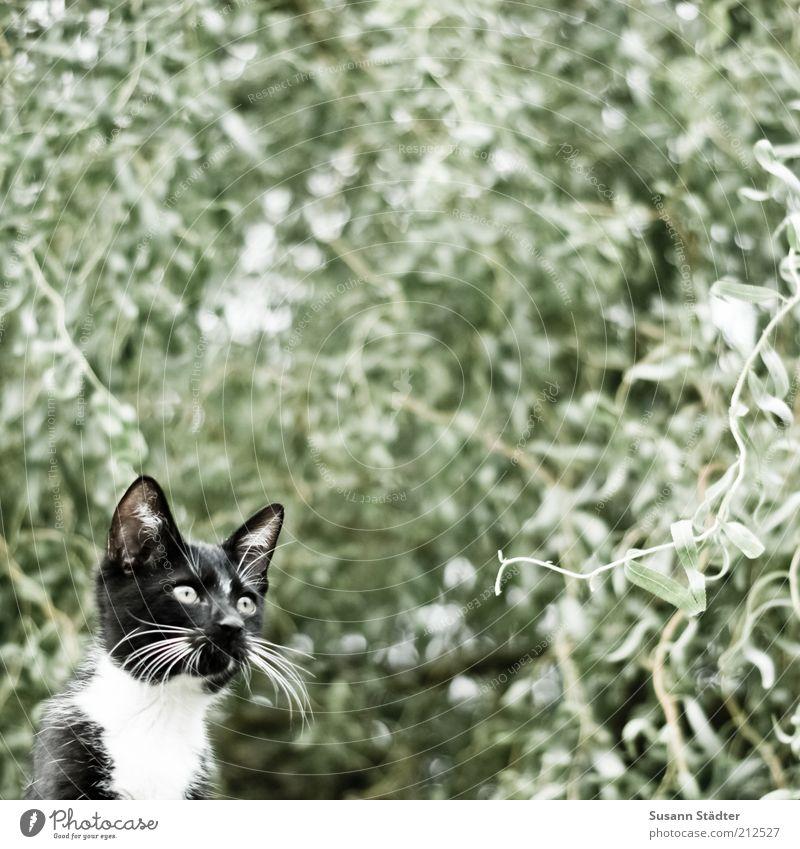 Jagdrevier Tier Haustier Katze Fell Tierjunges beobachten Denken warten Pirsch attackieren Baumkrone schwarz Konzentration Schnurrbarthaare Blick Schrecken