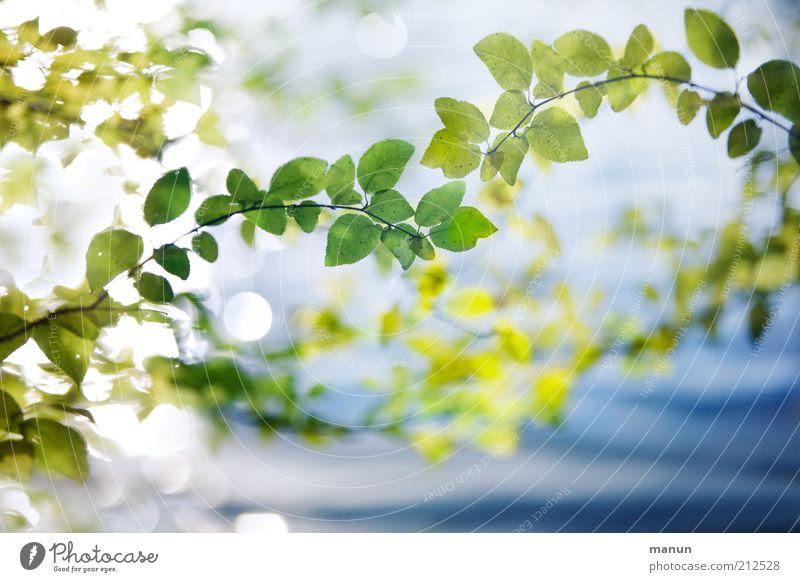 natürlich schön Natur Pflanze Sommer Blatt Umwelt hell leuchten Wachstum frisch Idylle Ast Vergänglichkeit einzigartig Wandel & Veränderung