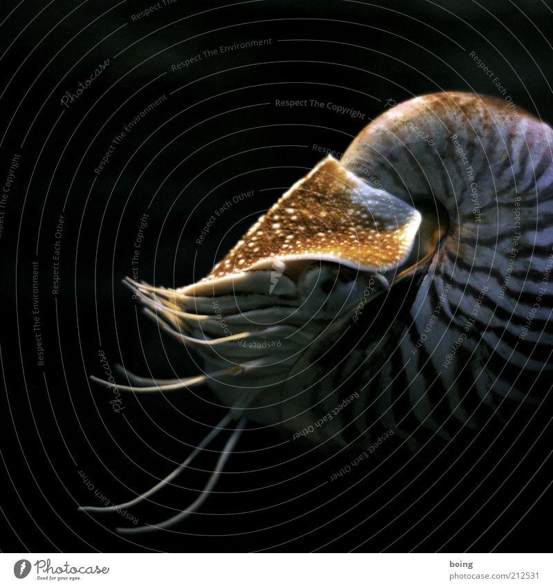 zweiundzwanzigtausend Meilen unter dem Meer Schnecke Muschel Aquarium Nautilus 1 Tier Perlboot Kopffüßer Unterwasseraufnahme Schwimmen & Baden Textfreiraum oben