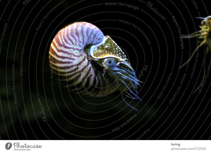 dreiundzwanzigtausend Meilen unter dem Meer Schnecke Muschel Aquarium Nautilus 1 Tier Perlboot Kopffüßer Unterwasseraufnahme Schwimmen & Baden Natur