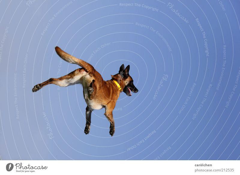 trampolin dog Hund blau Freude Tier Spielen Bewegung springen braun Gesundheit fliegen Geschwindigkeit verrückt Fröhlichkeit Fitness frech Haustier