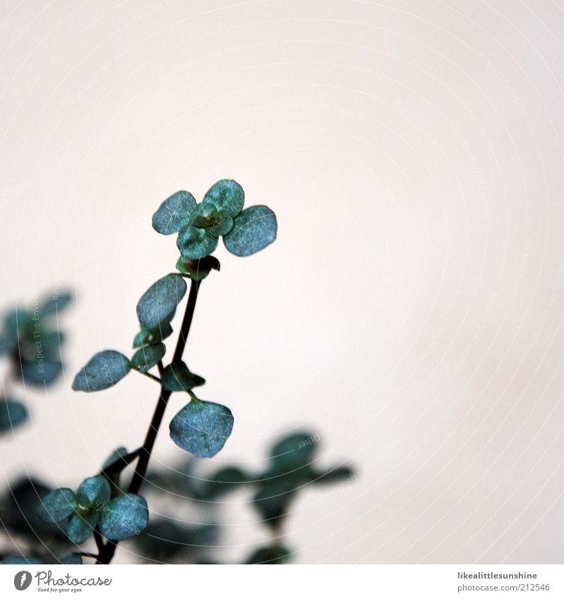 Pilea libanensis Natur schön weiß grün Pflanze Blatt Umwelt Wachstum authentisch Grünpflanze