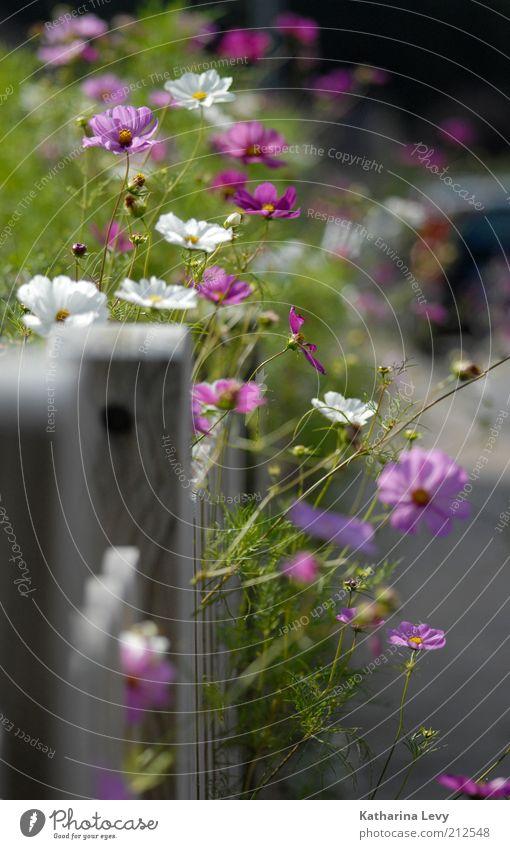 Spätsommer- Glück schön weiß Blume grün Pflanze Sommer Blüte Garten violett wild Blühend leuchten Duft Zaun Schönes Wetter Licht