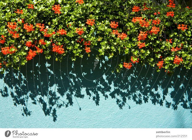 Geranien Umwelt Natur Pflanze Blume blau grün rot August Pelargonie Balkon Balkonpflanze Grünpflanze Topfpflanze Blüte Blühend Sommer Farbfoto Außenaufnahme