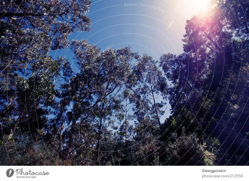 Sunshine Umwelt Natur Landschaft Pflanze Himmel Wolkenloser Himmel Sonne Sonnenlicht Sommer Schönes Wetter Baum Eukalyptus Wald Wachstum Duft natürlich blau