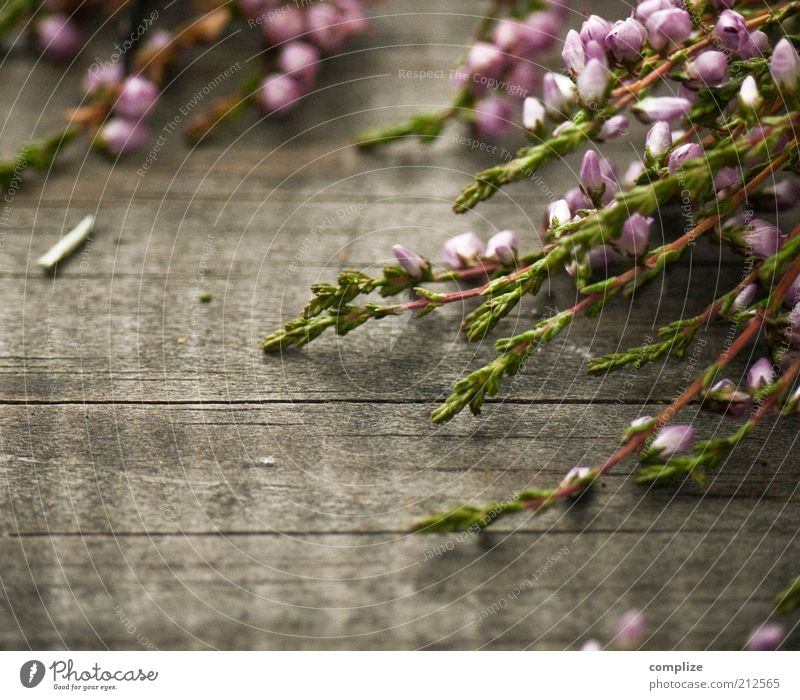 aah Erika! schön Blume Pflanze ruhig Holz rosa Sträucher violett natürlich Blühend Duft Makroaufnahme Bergheide Heidekrautgewächse