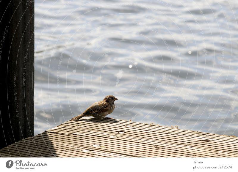 Sommerfrische am Müggelsee Vogel 1 Tier beobachten Erholung genießen hocken Spatz Gewässer Steg Wasseroberfläche Farbfoto Außenaufnahme Menschenleer
