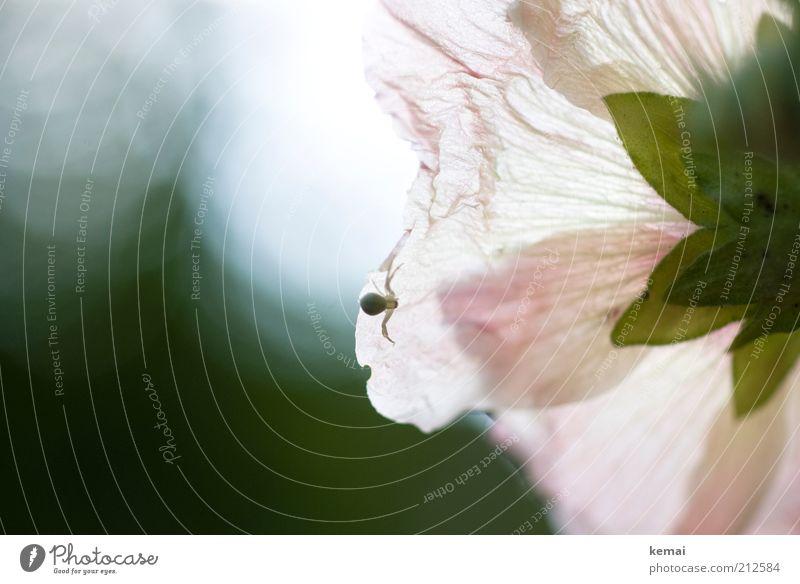 Fauna trifft Flora Natur Blume Pflanze Sommer Tier Blüte hell klein rosa Umwelt Blühend Duft Schönes Wetter Spinne krabbeln Schatten