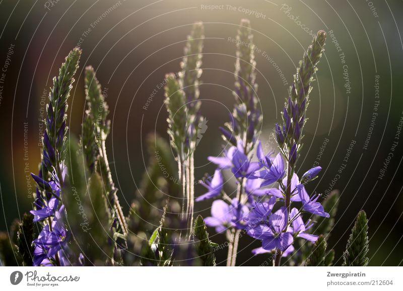 Abendstimmung im Garten Natur schön Blume Pflanze Sommer Erholung Blüte Frühling Glück Zufriedenheit Kraft Wachstum violett natürlich Blühend Schönes Wetter