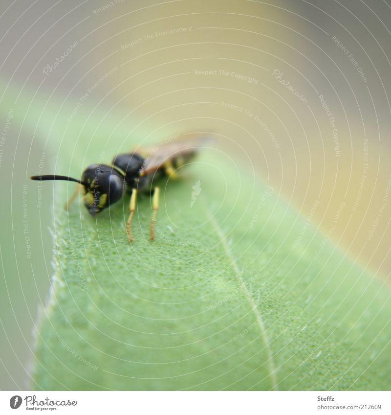 junge Wespe verweilt auf einem Blatt Jungtier hellgrün nah verweilen Pause Pause machen Pastellfarben Pastelltöne erholen Erholung Blattgrün klein Fühler