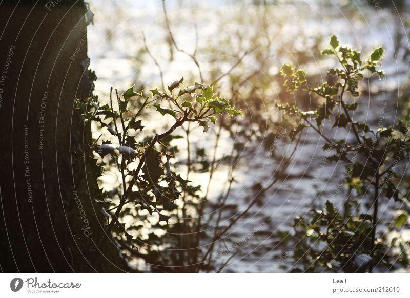 Sonnenschein Sonnenlicht Winter Schnee Baum Wildpflanze Wald hell kalt Hoffnung Farbfoto Außenaufnahme Tag Licht Schatten Sonnenstrahlen Gegenlicht Sträucher