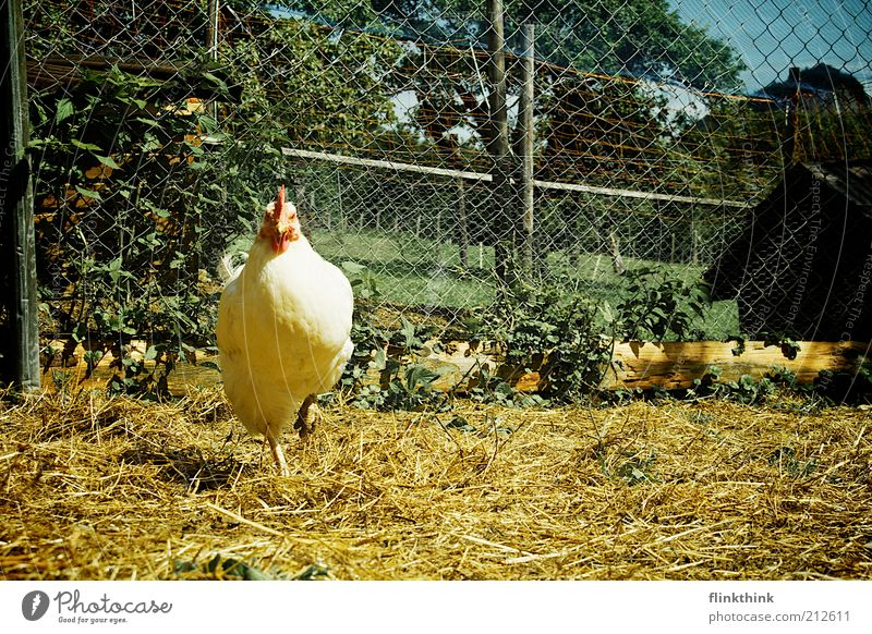 Huhn auf einem Bein Natur Erde Frühling Sommer Schönes Wetter Pflanze Tier Nutztier Zoo Streichelzoo Haushuhn 1 beobachten stehen warten Farbfoto Außenaufnahme
