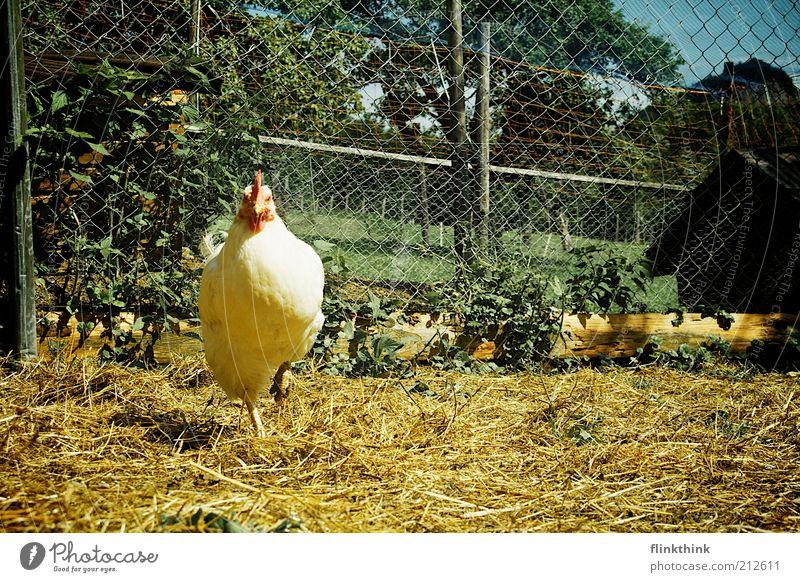 Huhn auf einem Bein Natur Pflanze Sommer Tier Frühling warten Erde stehen beobachten Zoo Zaun Schönes Wetter Haushuhn Stroh Stall Nutztier