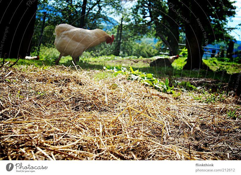 Huhn bei der Futtersuche Natur Schönes Wetter Pflanze Baum Gras Tier Nutztier Zoo Streichelzoo Haushuhn 2 füttern gehen Farbfoto Außenaufnahme Menschenleer