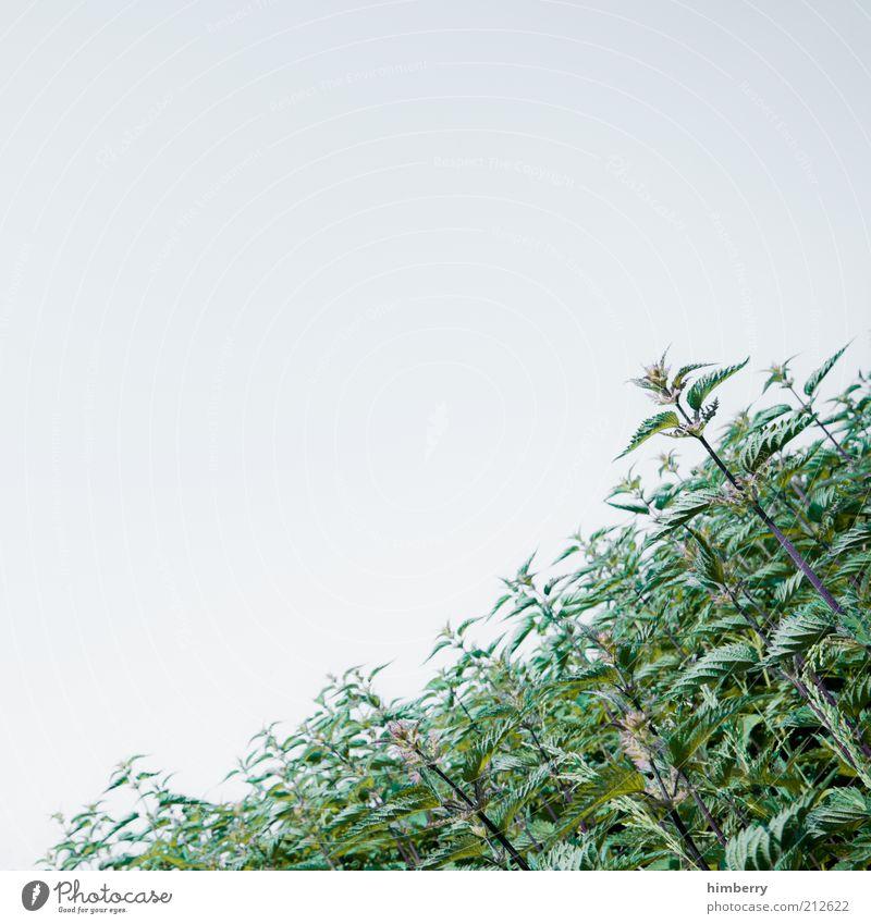 grüne hölle Umwelt Natur Pflanze Himmel Wolkenloser Himmel Frühling Sommer Klima Wetter Schönes Wetter Sträucher Blatt Grünpflanze Wildpflanze Wiese Brennnessel