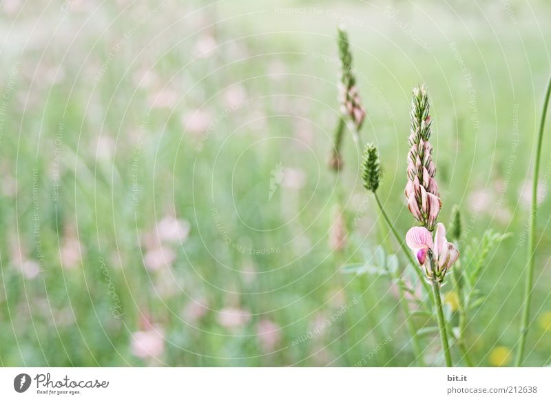 Rechts ist das Kabel.... Natur Pflanze Sommer Blume Wiese Gras Blüte Feld rosa Wachstum leuchten Hügel Kräuter & Gewürze Weide Blütenknospen Grasland