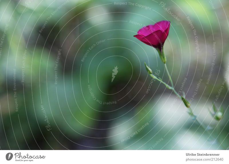 Blumenwiese Blüte violett Blütenblatt einzeln 1 Einsamkeit Wiese Blühend Pflanze Stengel Unschärfe Farbfleck Farbe grün Wachstum Blütenknospen Außenaufnahme