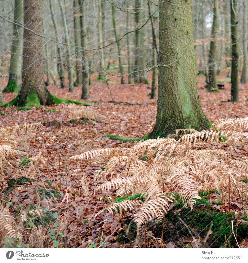 Herbstwald Umwelt Natur Landschaft Pflanze Winter Baum Moos Wald natürlich Zufriedenheit Vergänglichkeit Wandel & Veränderung Farn welk Blatt Buchenwald