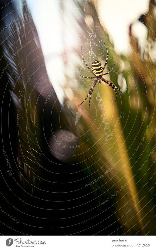 Natur Pur Umwelt Pflanze Spinne 1 Tier sitzen warten ästhetisch außergewöhnlich bedrohlich Ekel exotisch gruselig schön Neugier Angst Schüchternheit Respekt