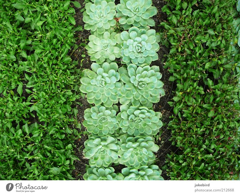 Grünstreifen Erde Grünpflanze Sukkulenten Garten grün Streifen gestreift Beet Grabschmuck Immergrüne Pflanzen Rosette Blattgrün Boden unten nebeneinander 3