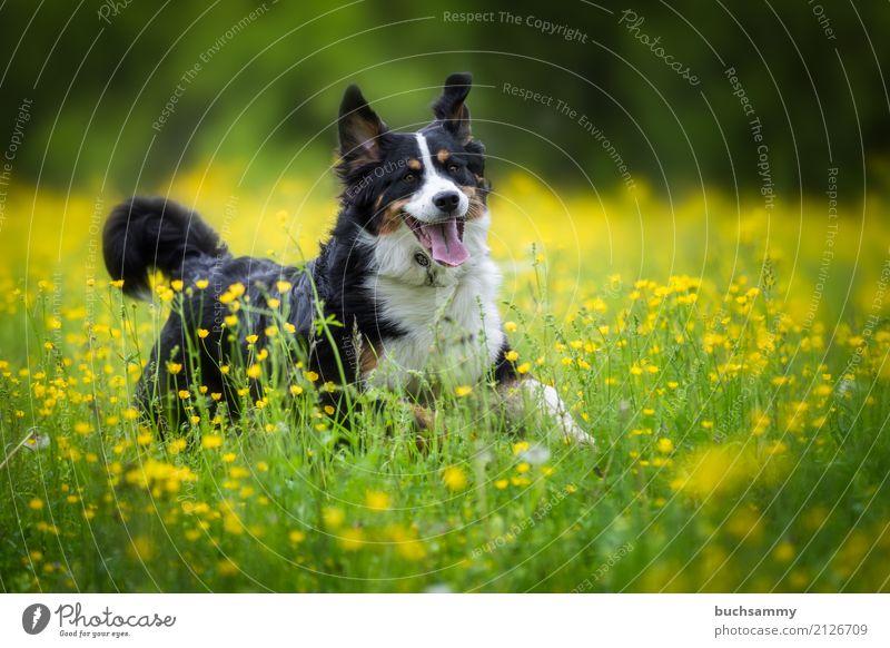 Berner Sennenhund Tier Wiese Haustier Hund 1 Tierjunges toben braun gelb grün schwarz weiß Reinrassig Aktion Farbfoto Außenaufnahme Textfreiraum rechts