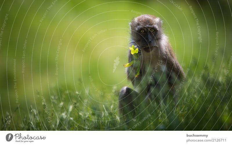 Javaneraffe Natur grün Tier Tierjunges Essen Wiese Gras Wildtier sitzen Säugetier Affen