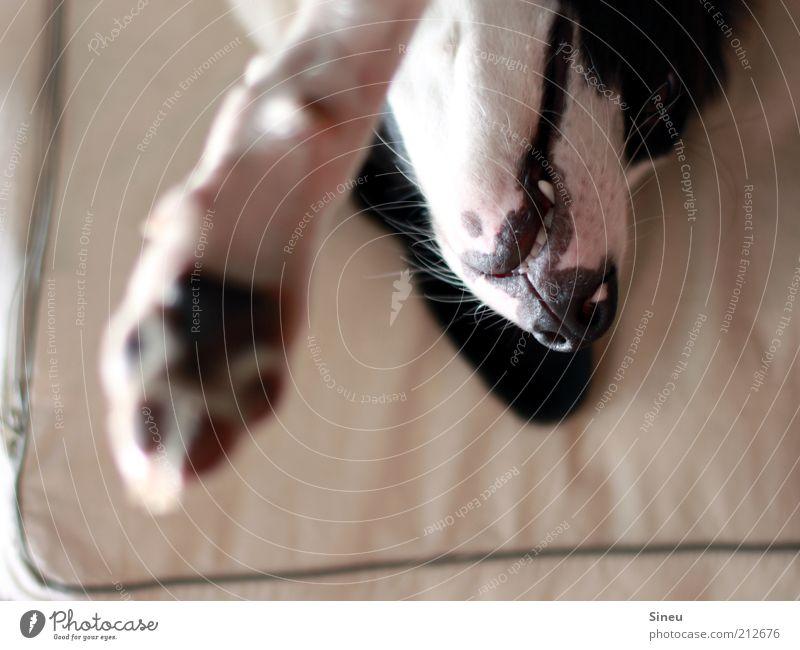 Stretching Tier Hund Tiergesicht Fell Krallen Pfote 1 Tierjunges Erholung liegen aufwachen Zähne Hundekissen Hundeschnauze schwarz weiß Farbfoto Innenaufnahme