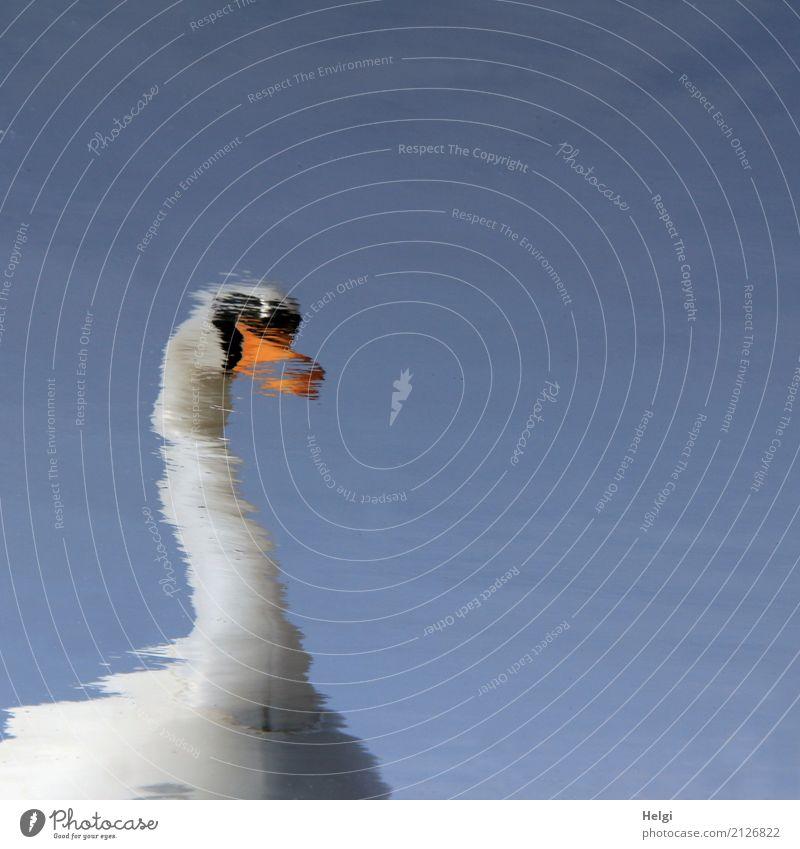 Schwanensee Umwelt Natur Wasser Wolkenloser Himmel Frühling Schönes Wetter 1 Tier Schwimmen & Baden außergewöhnlich einzigartig blau orange schwarz weiß ruhig