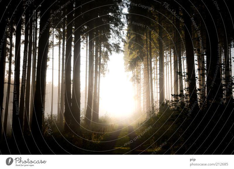 lichtblick Natur Landschaft Pflanze Sonne Sonnenaufgang Sonnenuntergang Sommer Herbst Klima Wetter Schönes Wetter Nebel Baum Wald Nadelwald Wege & Pfade Fußweg