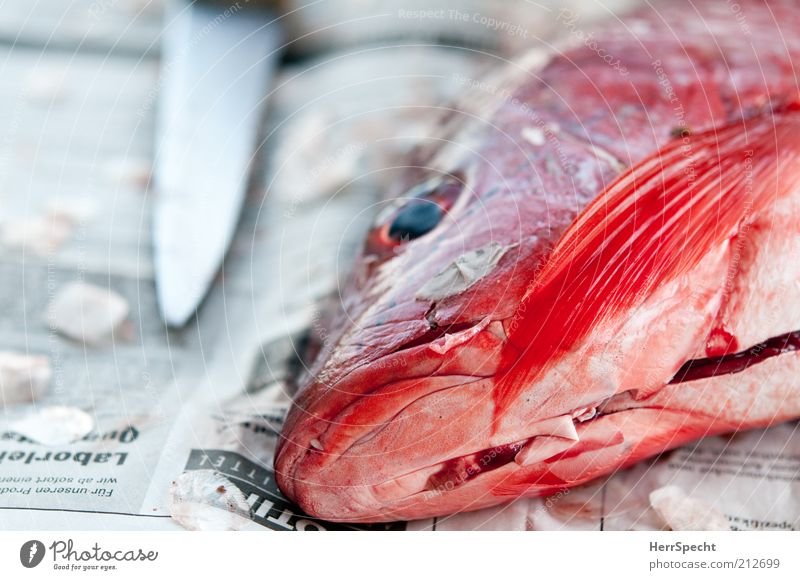 Rot & tot schön rot Auge Tier glänzend Lebensmittel Papier Fisch Zeitung Tierhaut Wildtier Messer Fischauge Flosse Mahlzeit zubereiten