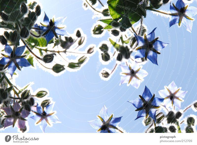 Shining Line Natur Blume blau Pflanze Sommer Blüte Stimmung Hintergrundbild ästhetisch Blühend leuchten Schönes Wetter Botanik Blauer Himmel Blütenblatt