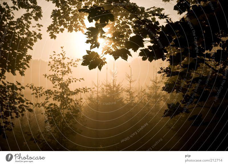 morgens im wald Natur Baum Blatt Ast Sträucher Tanne Wald Herbst Oktober Waldlichtung ruhig Silhouette Nebel Morgen braun Jahreszeiten hell Fichte Farbfoto