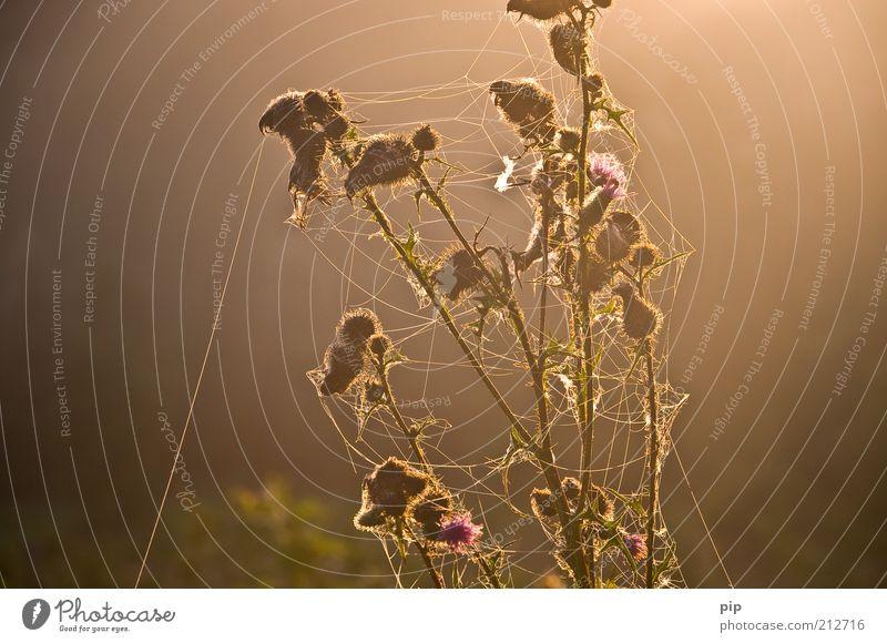 """""""ich glaub ich spinne - ich hab den faden verloren ..."""" Natur Pflanze Sommer Herbst Blüte braun Umwelt Sträucher Insekt Falle Spinne Tier Makroaufnahme Blattknospe fleißig Spinnennetz"""