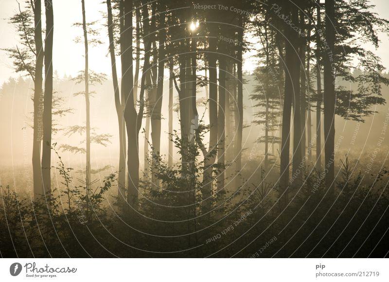 _IIIII_ Natur Pflanze Sommer Herbst Baum Sträucher Wald dunkel hell braun gold Warmherzigkeit Erholung Wäldchen Baumstamm Nebel Waldlichtung Morgen Horizont