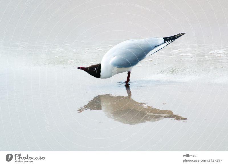 Watt? Lachmöwe Strand Vogel Möwe 1 Tier beobachten stehen lustig Reflexion & Spiegelung Küste Ostsee Textfreiraum Nordsee