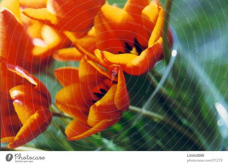 Papageientulpen Sonne Sommer Balkon Tulpe Blume Vase