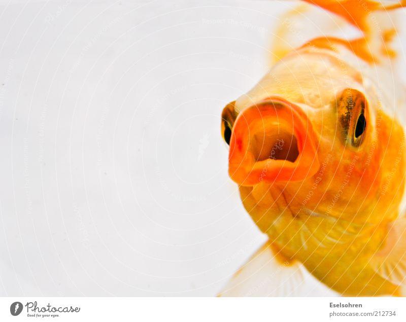 Happy Fish Tier gelb Erholung Stimmung Mund gold Schwimmen & Baden Fisch Coolness bedrohlich Wut Unterwasseraufnahme Haustier Aquarium Aggression Optimismus